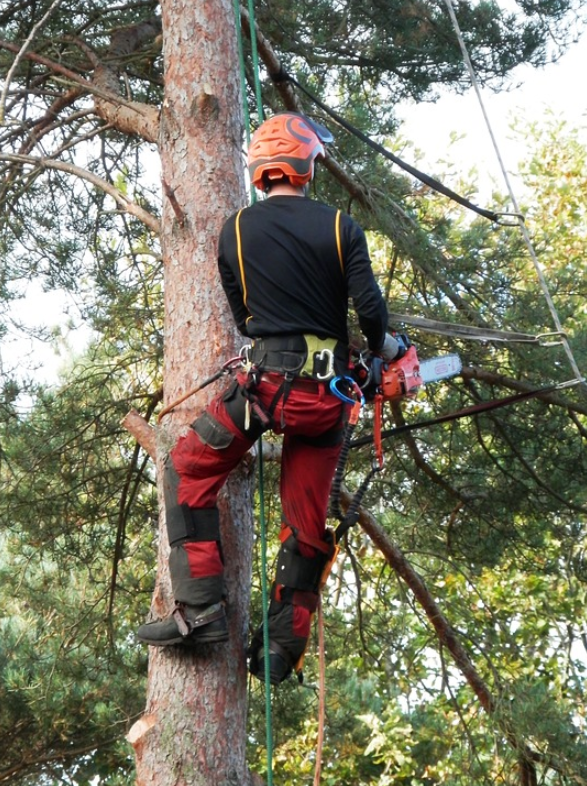 this is an image of tree cabling and bracing in whittier