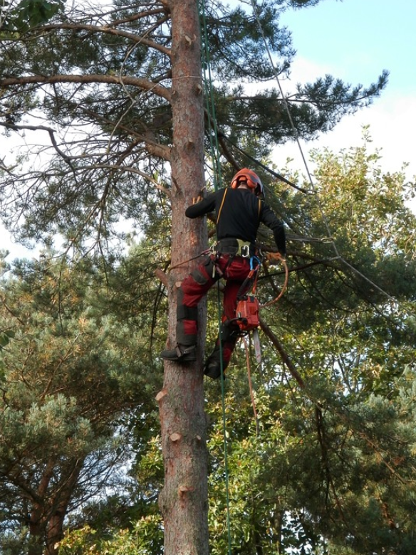 this is an image of tree pruning in whittier